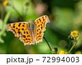 野花の蜜を吸うキタテハ 11月 72994003