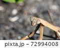 道端のオオカマキリ 顔のアップ 11月 72994008