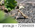 道端のオオカマキリ 11月 72994009