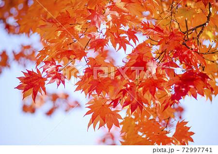 鮮やかな紅葉を見上げる(空バック) 72997741