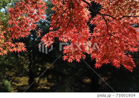 東京都渋谷区の代々木公園の赤く紅葉したもみじの葉 73001934