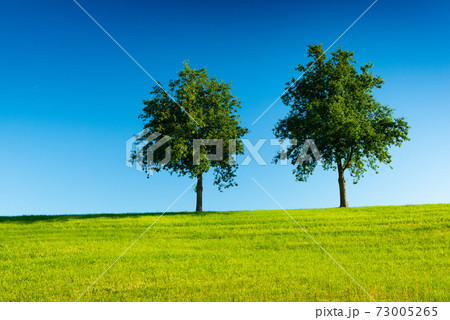 Two trees in a green field with a clear blue sky in the background 73005265