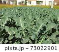 新興住宅地のブロッコリー畑風景 73022901