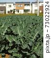 新興住宅地のブロッコリー畑風景 73022924