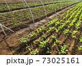 朝日の当たる秋のほうれん草畑風景 73025161