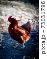 冬にたたずむ鶏 73031796
