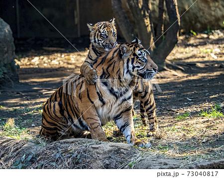 お母さんに甘える幼いスマトラ虎の子供 73040817