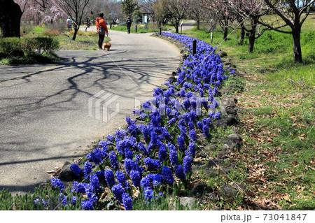春のフラワーパーク江南・10(愛知県江南市:木曽三川公園フラワーパーク江南) 73041847
