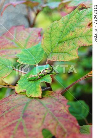 カシワバアジサイの葉にとまるアマガエル 73042111