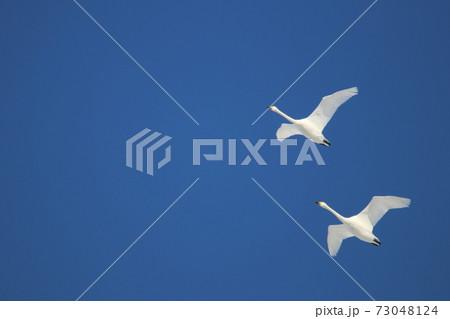 年賀状に使えそうな青空と白鳥のコラボ 73048124