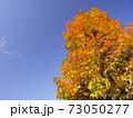 晩秋の朝の黄葉のモミジバフウと青空 73050277