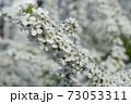 ユキヤナギ 73053311