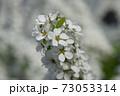 ユキヤナギ 73053314