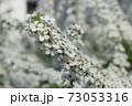 ユキヤナギ 73053316