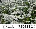 ユキヤナギ 73053318