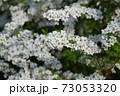 ユキヤナギ 73053320