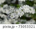 ユキヤナギ 73053321