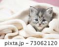 毛布にくるまったメインクーンの子猫 73062120