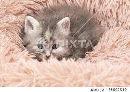 フカフカの猫ベッドに入ったメインクーンの子猫 73062310