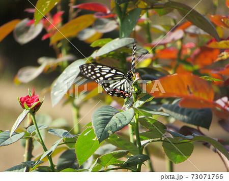 蜜を吸うためにバラの花にとまった蝶 73071766