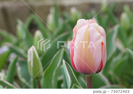 スィートインプレッション・チューリップの花と雨雫 73072403