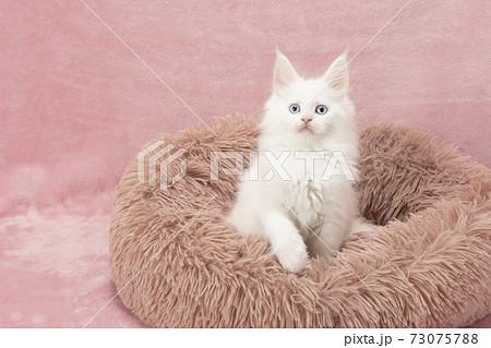 フカフカの猫ベッドに入ったメインクーンの白い仔猫 73075788