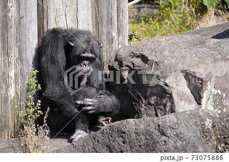 伊豆シャボテン公園の島の中でリラックスして座っているチンパンジー 73075886