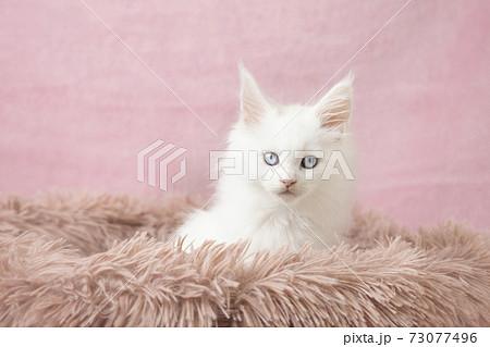 フカフカの猫ベッドに入ったメインクーンの白い仔猫 73077496