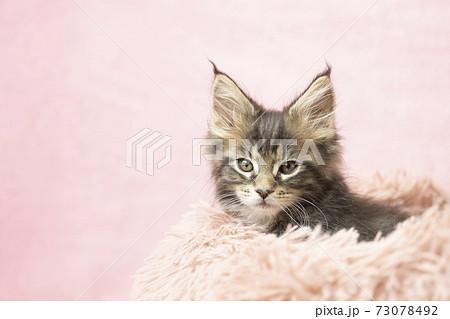 フカフカの猫ベッドに入ったメインクーンの子猫 73078492