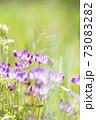 群生するレンゲにミツバチがとまる 73083282