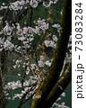 朝日に照らされる桜 73083284