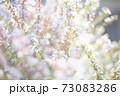 光あふれる桜 73083286