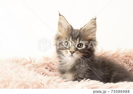 フカフカの猫ベッドに入ったメインクーンの子猫 73086988