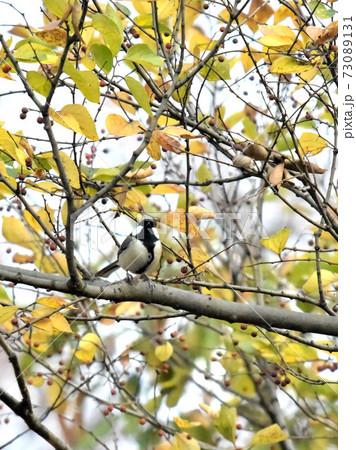 都市公園の木の実を食べるシジュウカラ 73089131