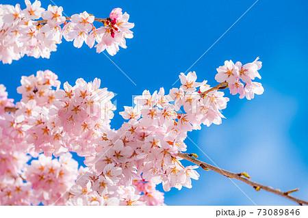 上田城の桜と青空 【長野県】 73089846