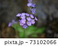 レブンコザクラ 73102066