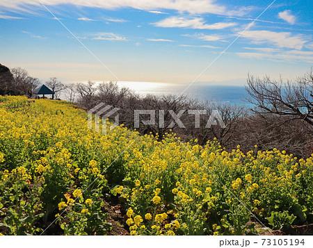 吾妻山公園から望む菜の花畑と青い海 73105194