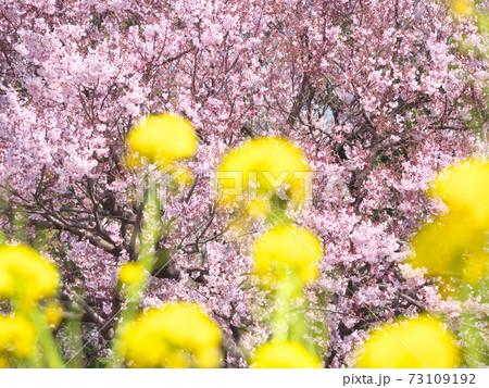満開の桜(高遠小彼岸桜)と菜の花畑 春のイメージ 73109192