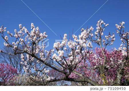 満開の梅-2、快晴の空に弾ける梅花風景 73109450