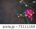 椿の花 73111168