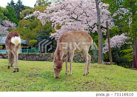 【奈良】春の若草山 麓の桜と草をついばむ鹿 73116610