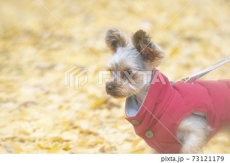 銀杏の葉が落ちた公園と赤いベストを着たヨークシャテリア 73121179