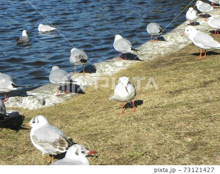 稲毛海浜公園の池に来たユリカモメ 73121427