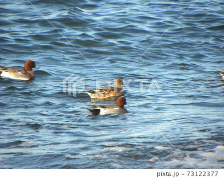 検見川浜の岸壁近くを泳ぐヒドリガモ 73122377