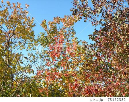 綺麗に紅葉した冬のナンキンハゼ 73122382