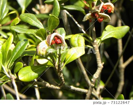 実が弾けて赤い粘膜に包まれた種を見せたトベラ 73122647