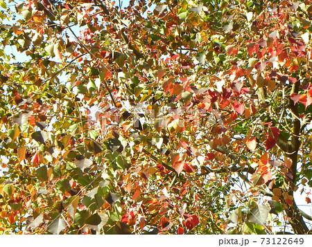 真っ赤に紅葉のナンキンハゼノ葉は綺麗です 73122649