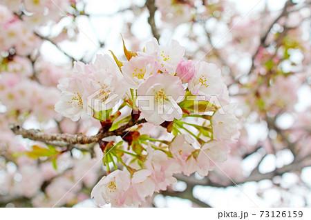【京都】春の二条城 満開の桜のアップ 73126159