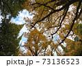 神宮銀杏並木 銀杏の木 73136523