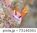 こっちを覗く奄美大島のゾウゲイロウミウシ その① 73140301